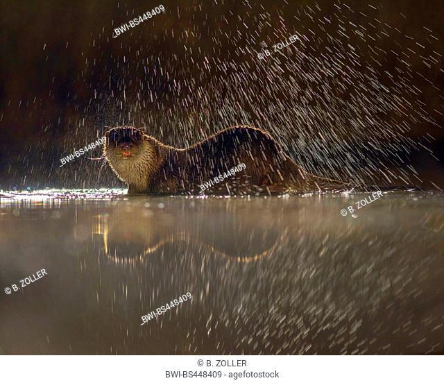European river otter, European Otter, Eurasian Otter (Lutra lutra), shaking water off against the light, Hungary, Kiskunsag National Park