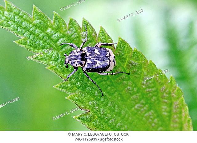 Valgus hemipterusm nale on young nettle leaf  Dark beetle with distinctive white lunule markings  Females have a noticeable telson  Beetles are active from may...