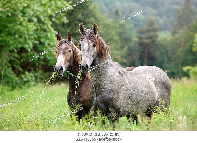 two andalusian horses - standing on meadow