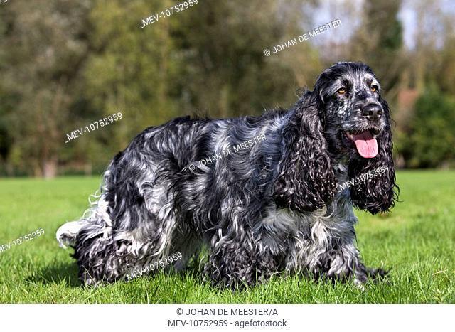 Dog - English Cocker Spaniel