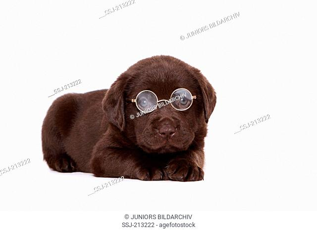 Labrador Retriever. Brown puppy (6 weeks old) lying, wearing glasses. Studio picture against a white background. Germany