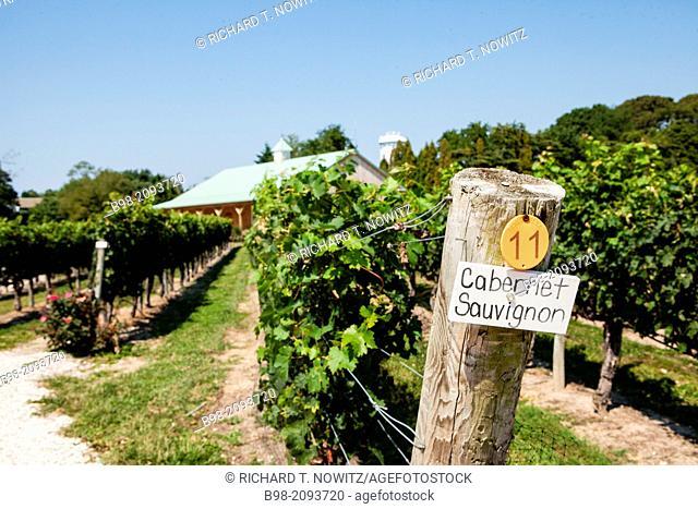 Cape May Winery's grape arbor with Cabernet Sauvignon grapes