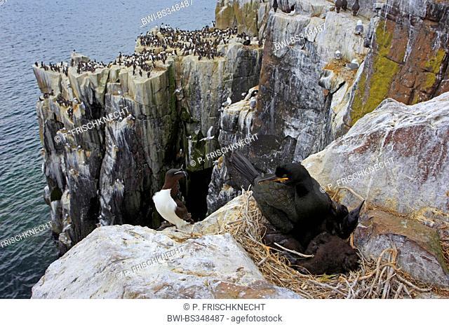 shag (Phalacrocorax aristotelis), nesting colony at the coast of Farne Islands, United Kingdom, England, Farne Islands, Inner Farne