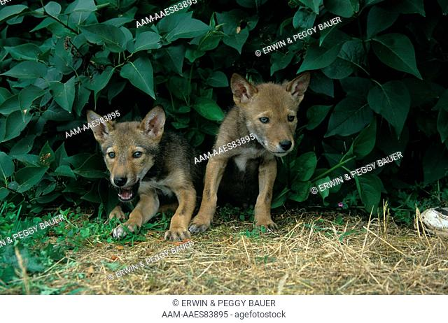 Red Wolf Pups (Canis rufus) reintroduced in s.e. USA