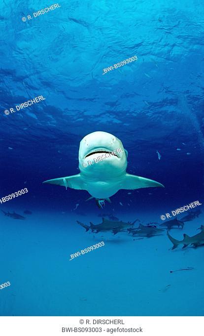 lemon shark (Negaprion brevirostris), numerous animals in the ocean, one animal swimming towards the camera, The Bahamas, Grand Bahama Island, Atlantic Ocean