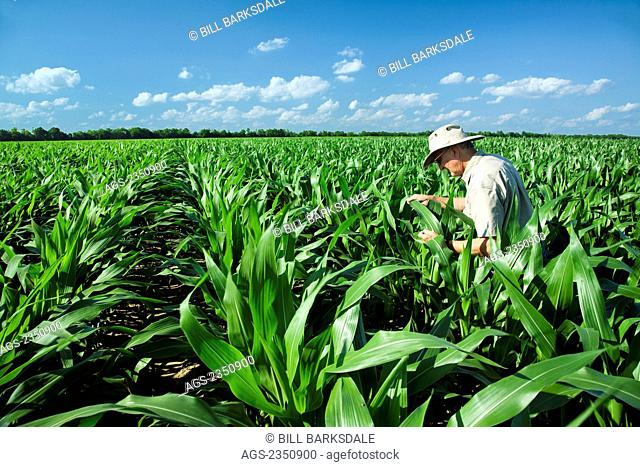 Agriculture - A farmer (grower) examines mid growth pre-tassel stage corn plants for insect pests and growth progress / near England, Arkansas, USA