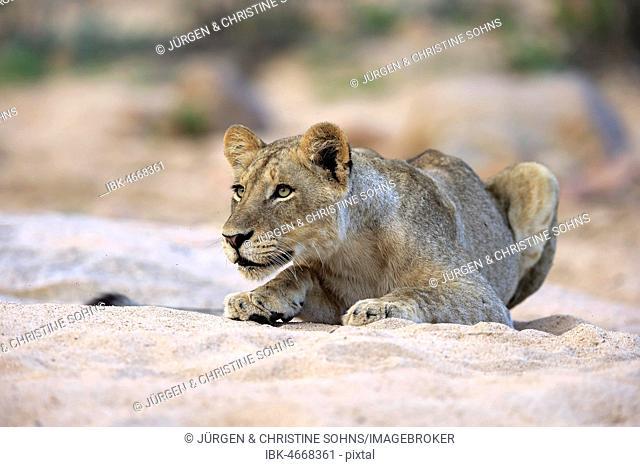 Lion (Panthera leo), adult female, attentive, observing, in dry riverbed, Sabi Sand Game Reserve, Kruger National Park, South Africa