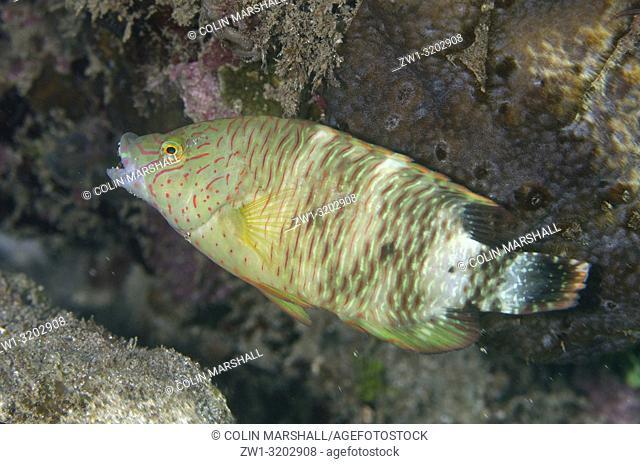 Tripletail Wrasse (Cheilinus trilobatus), Dili Rock East dive site, Dili, East Timor (Timor Leste)