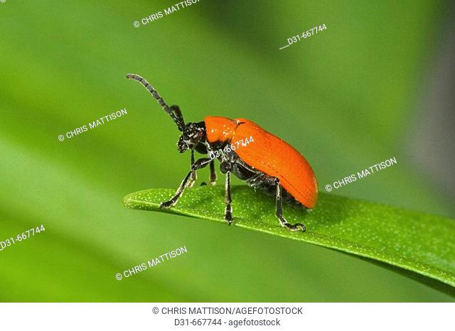 Scarlet lily beetle (Liliocerus lili), a pest of lilies and fritillaries, introduced to the United Kingdom and spreading