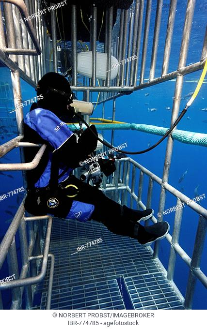 Scuba diver in a cage observing a Great White Shark (Carcharodon carcharias), Guadalupe Island, Mexico, Pacific, North America
