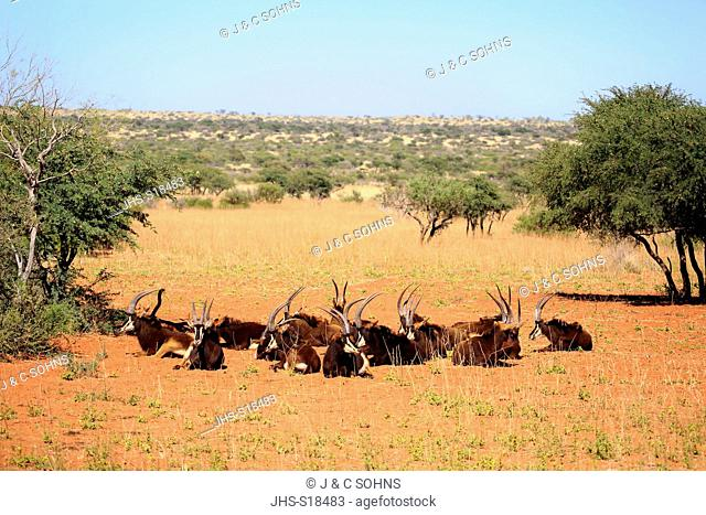 Sable Antelope, (Hippotragus niger), group of adults resting, Tswalu Game Reserve, Kalahari, Northern Cape, South Africa, Africa