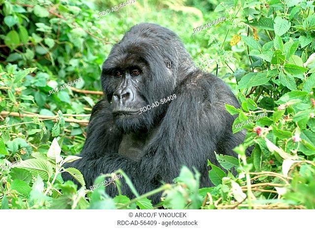 Mountain Gorilla Volcano national park Rwanda Gorilla gorilla beringei