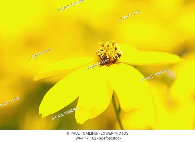 Tickseed, Whorled tickseed, Coreopsis verticillata 'Zagreb', Close view of a single flower in focus against others soft focus behind