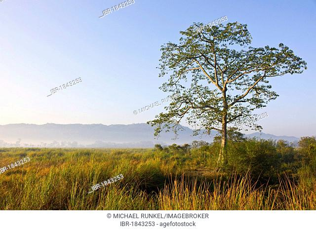 Elephant grass in the UNESCO World Natural Heritage Site of Kaziranga National Park, Assam, North East India, India, Asia