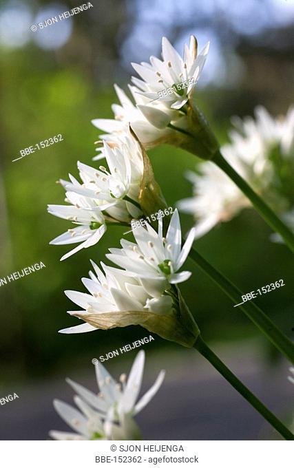 Blooming wild garlic (Allium ursinum) in the verge of a woodland in Deventer