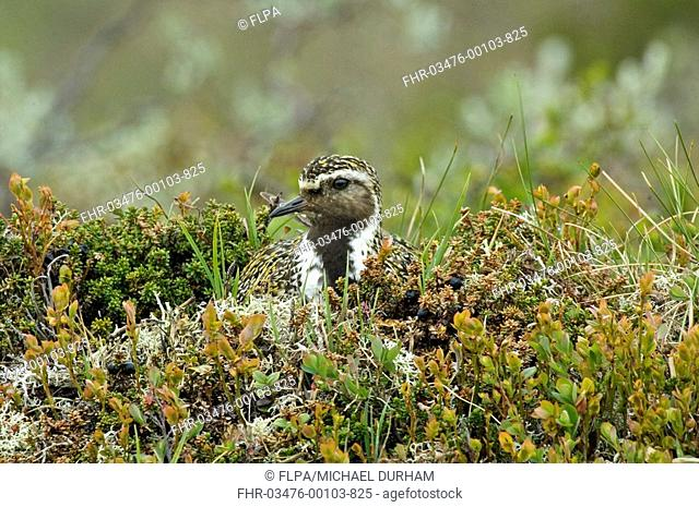 Eurasian Golden Plover Pluvialis apricaria adult, sitting on nest, Haugseter, Norway