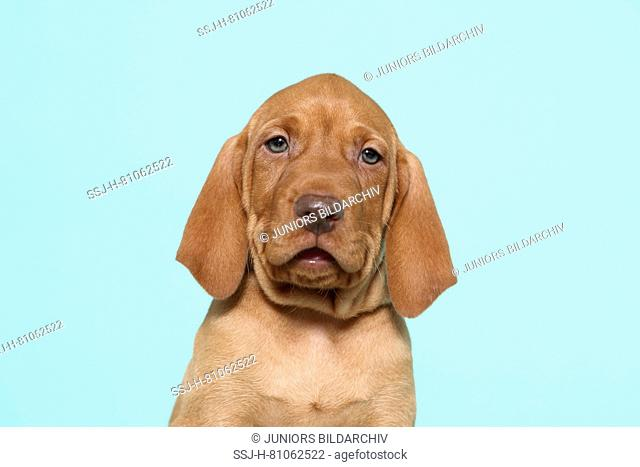 Vizsla. Portrait of a puppy (6 weeks old). Studio picture, seen against a light blue background. Germany