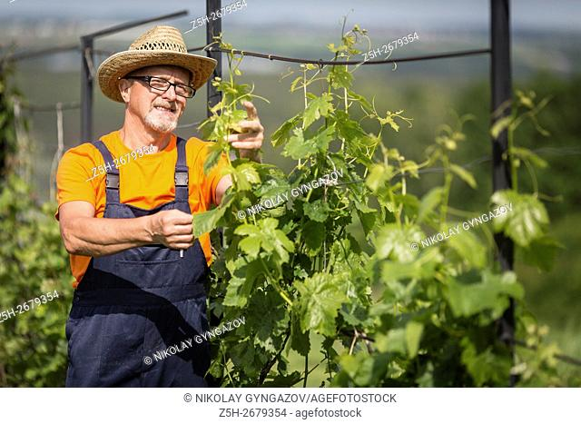 Russia. Belgorod region. Elderly man working in the garden. Grape Processing