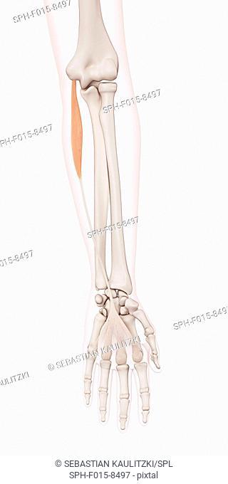 Human arm muscles, illustration