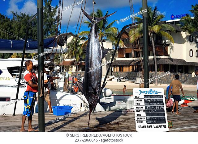 Fishers with swordfishes in Grand Baie, Riviere Du Rempart, Mauritius, Indian Ocean, Africa