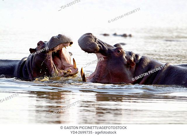 Hippopotamus (Hippopotamus amphibius), fighting, Kruger National Park, South Africa