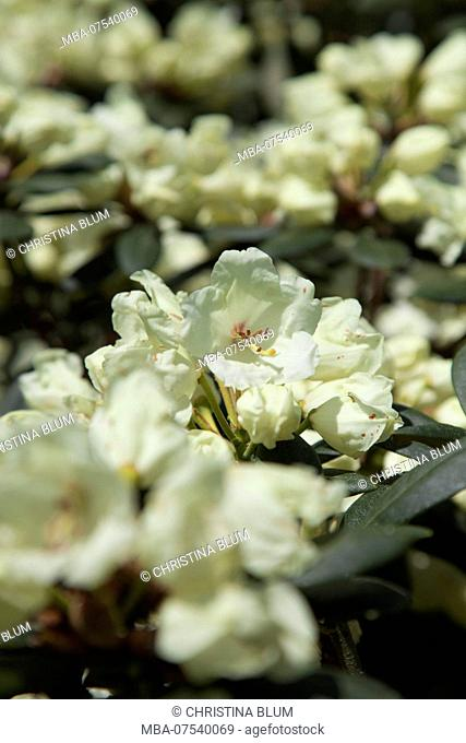 Blooming Rhododendron, Close-up