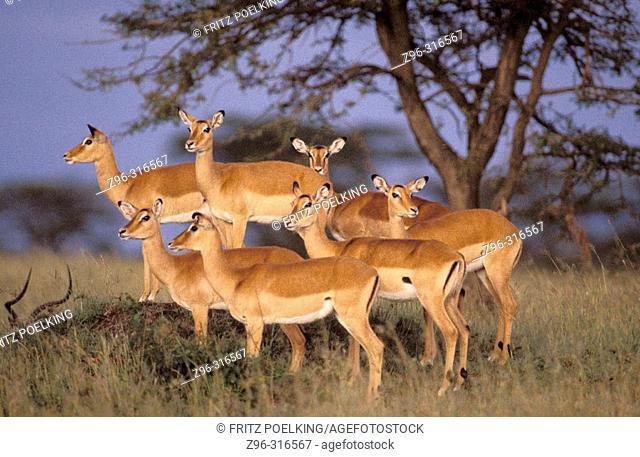 Impalas (Aepyceros melampus) before sunrise. Masai Mara. Kenya