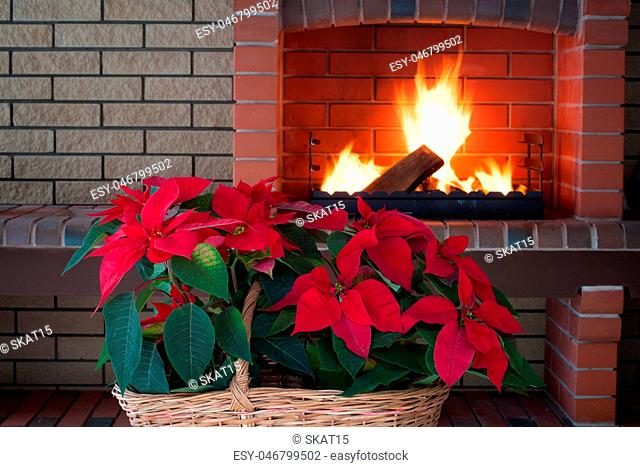 Poinsettia flowers isolated in vintage basket, fireplace, brick wall, romance