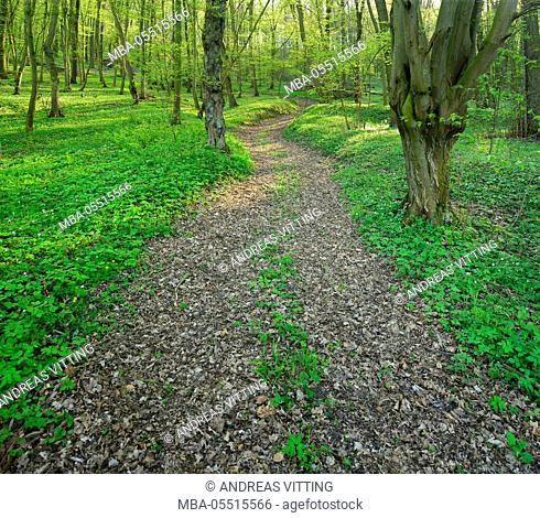 Footpath through sunny deciduous forest in spring, wood anemone covering the ground, near Laucha, Saxony-Anhalt, Germany