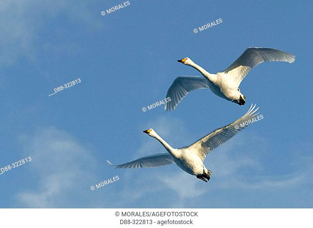 Whooper Swan (Cygnus cygnus). Hokkaido, Japan