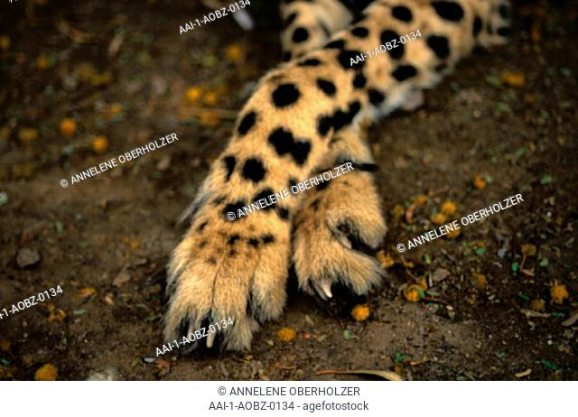 Cheetah paws, Eastern Cape, South Africa