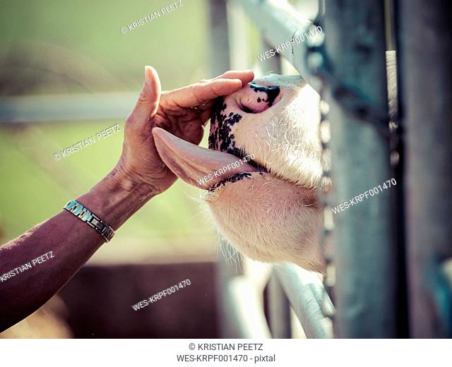 Cow licking woman's hand