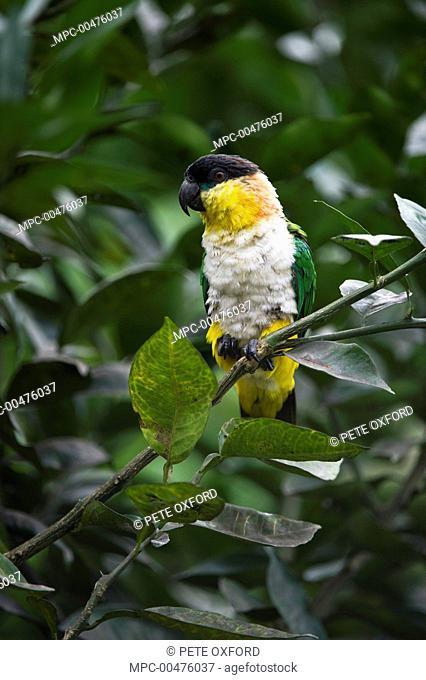 Black-headed Parrot (Pionites melanocephala), Yasuni National Park, Amazon Rainforest, Ecuador