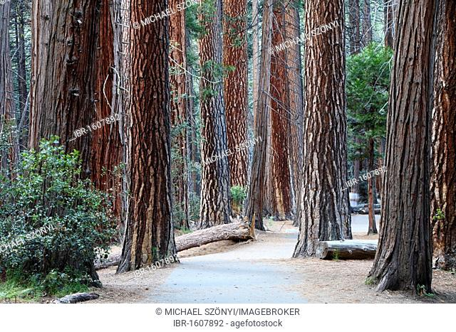 Redwoods, sequoias (Sequoioideae), Yosemite National Park, California, USA
