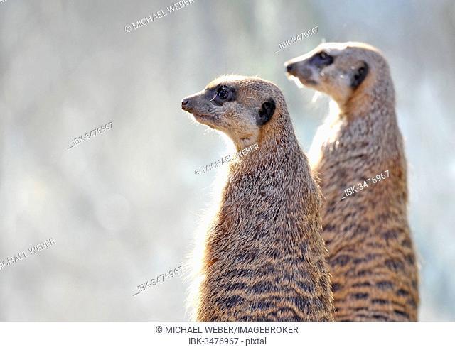 Meerkats (Suricata suricatta), captive, native to Africa, Stuttgart, Baden-Württemberg, Germany