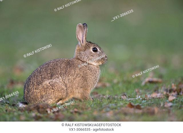 European Rabbit (Oryctolagus cuniculus), adult, sitting on short grass in typical surrounding of a backyard or park, full body side view, wildlife, Germany