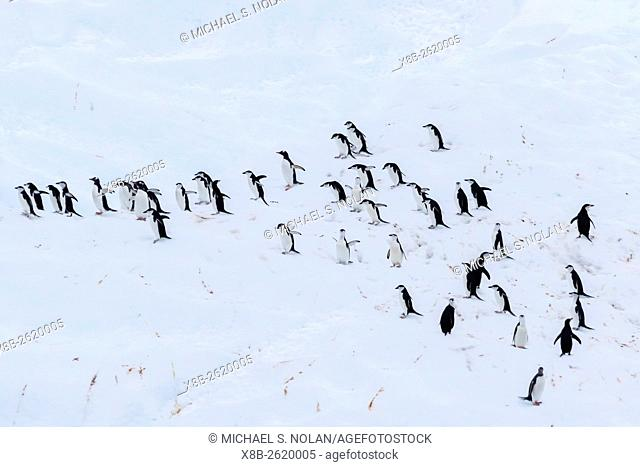 Chinstrap penguins, Pygoscelis antarctica, on iceberg at Useful Island, Antarctica