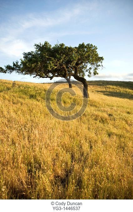 Oak and grassland of Central California ranch, near Los Alamos