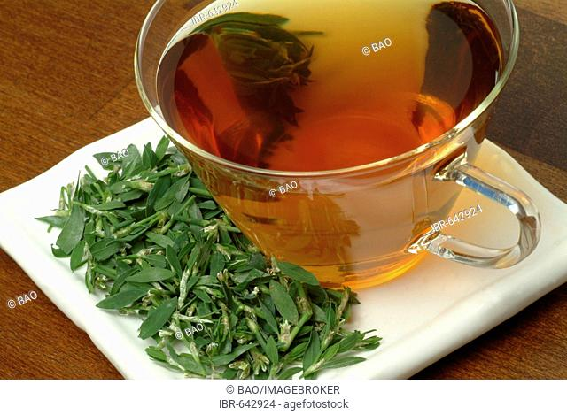 Common Knotgrass, Birdweed or Lowgrass (Polygonum aviculare), medicinal plant, herbal tea