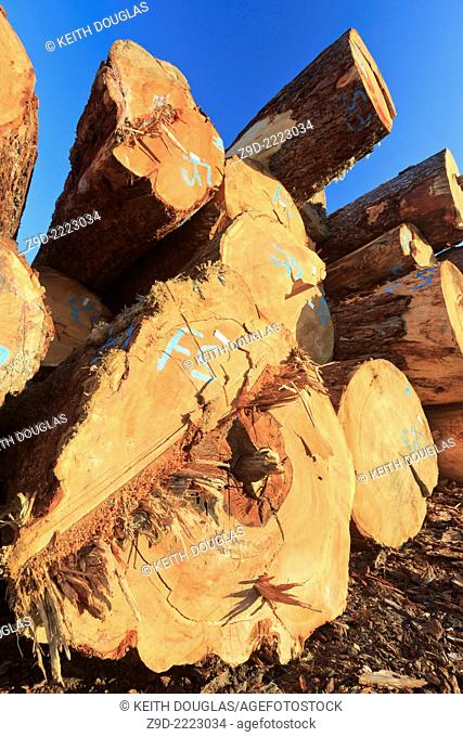 Large sized old growth logs in log sorting yard, Nanaimo, British Columbia