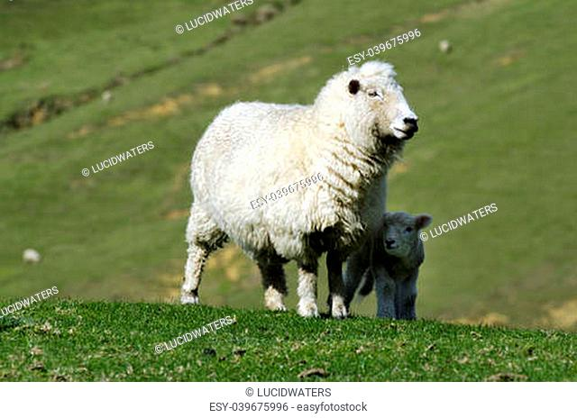 Perendale Sheep and her lamb.It's a breed of sheep developed in New Zealand by Massey Agricultural College (now Massey University) for use in steep hill...