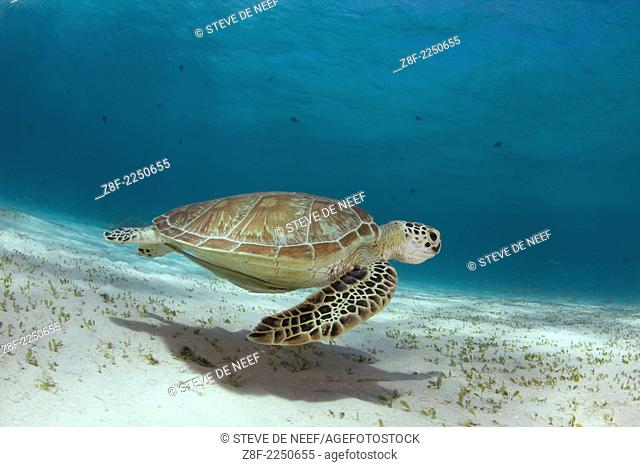 A green sea turtle (Chelonia mydas) swims in the shallows of the blue water in Palawan, Philippines