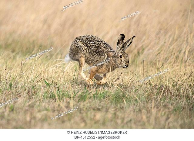 European hare (Lepus europaeus) running, Seewinkel, Burgenland, Austria