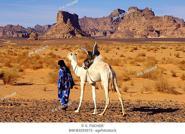 dromedary, one-humped camel (Camelus dromedarius), Tuareg nomade with white Mehari dromedary is roaming in the Acacus Mountains, Libya, Sahara, Acacus mountains