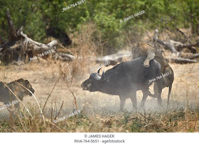 Two male lion (Panthera leo) attacking a Cape Buffalo (African Buffalo) (Syncerus caffer), Ruaha National Park, Tanzania, East Africa, Africa