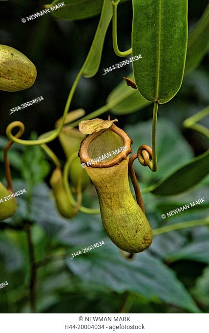 pitcher plant, nepenthes genus