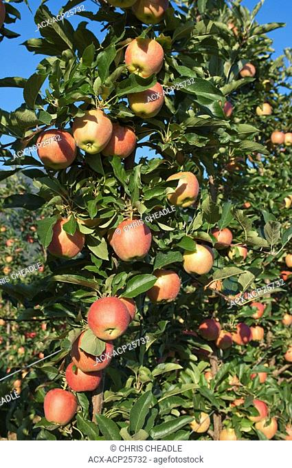 Apples in orchard at Oliver, BC, Canada in August near harvest time