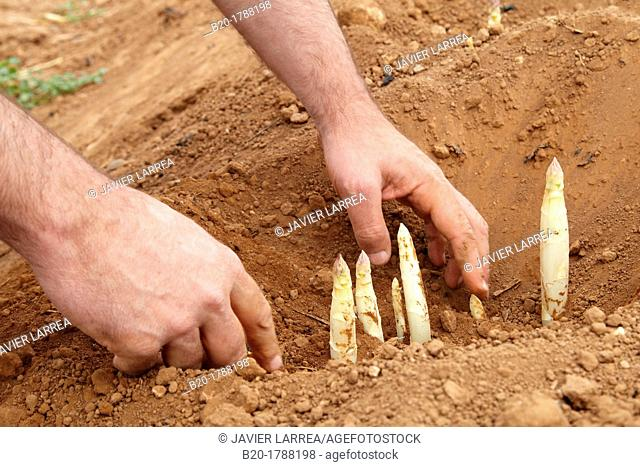 Asparagus growing field, Agricultural Investigation and Research, Agricultural fields, High Ribera, Arga-Aragon Ribera, Navarre, Spain