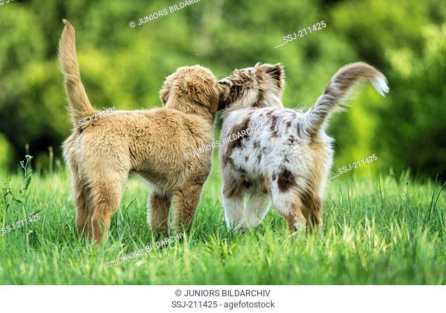 Australian Shepherd puppy and Golden Retriever puppy standing on grass, seen from the rear. Germany
