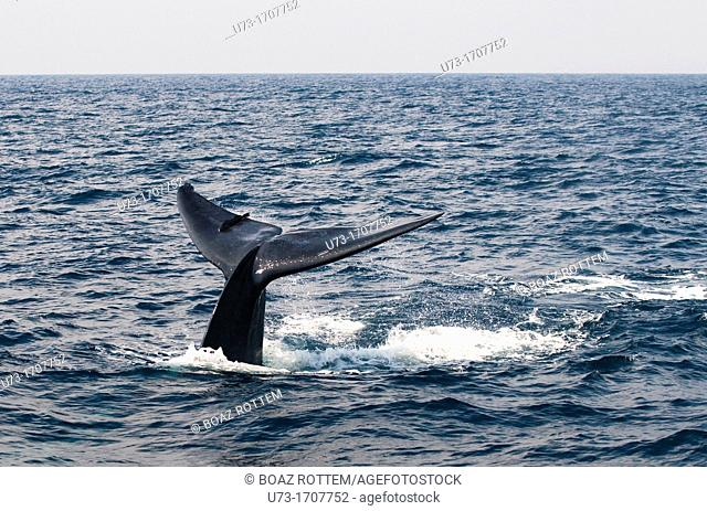 A Blue Whale diving deep in the Indian ocean